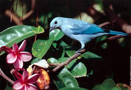Tangara bleu